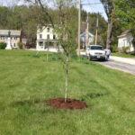Historic Streetscape Tree Planting